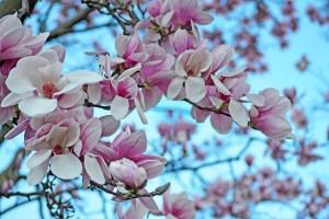 savon de marseille maakt zeep van deze heerlijke magnolia bloemengeur (1)